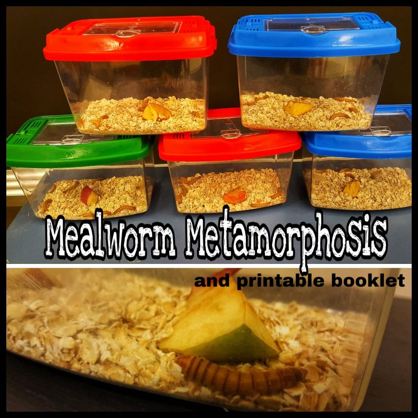 Grade 2 Science – Mealworms