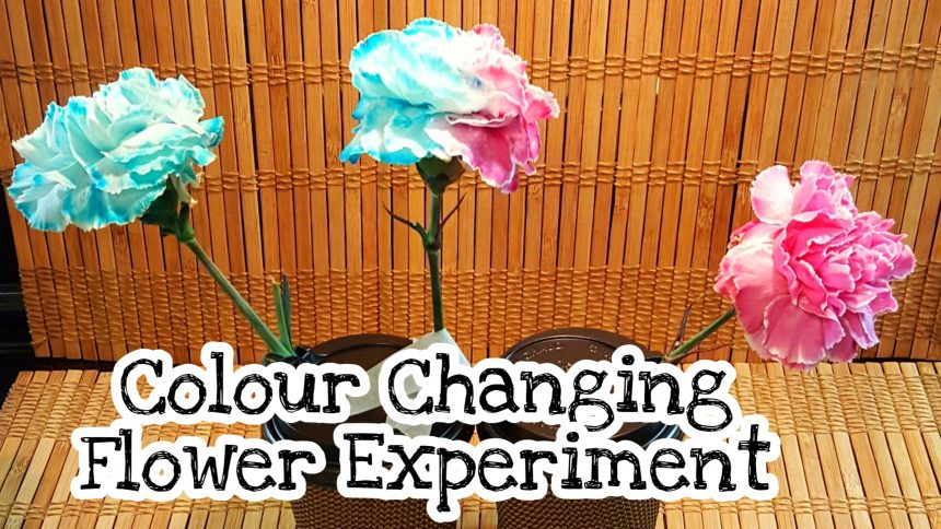 Simple Science Experiments – Colour Changing Flower